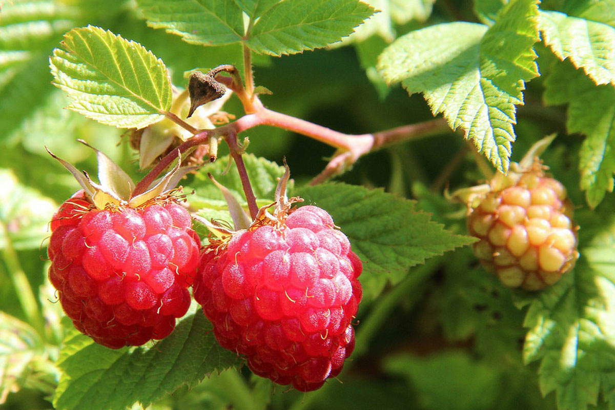 Saanich couple devastated after raspberry bush on private property cut down by District contractors