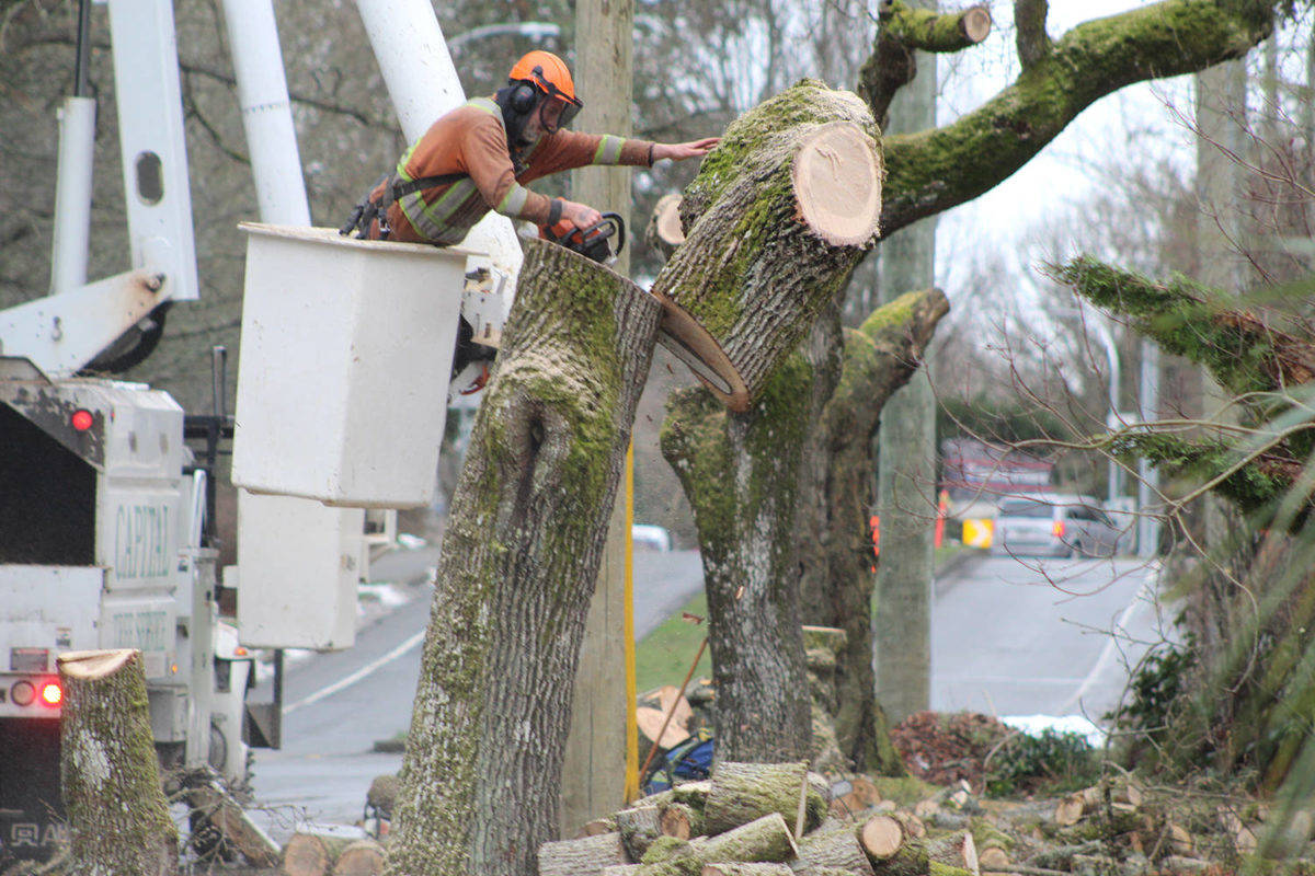 City of Victoria limits protected tree circumference to 30 cm or more