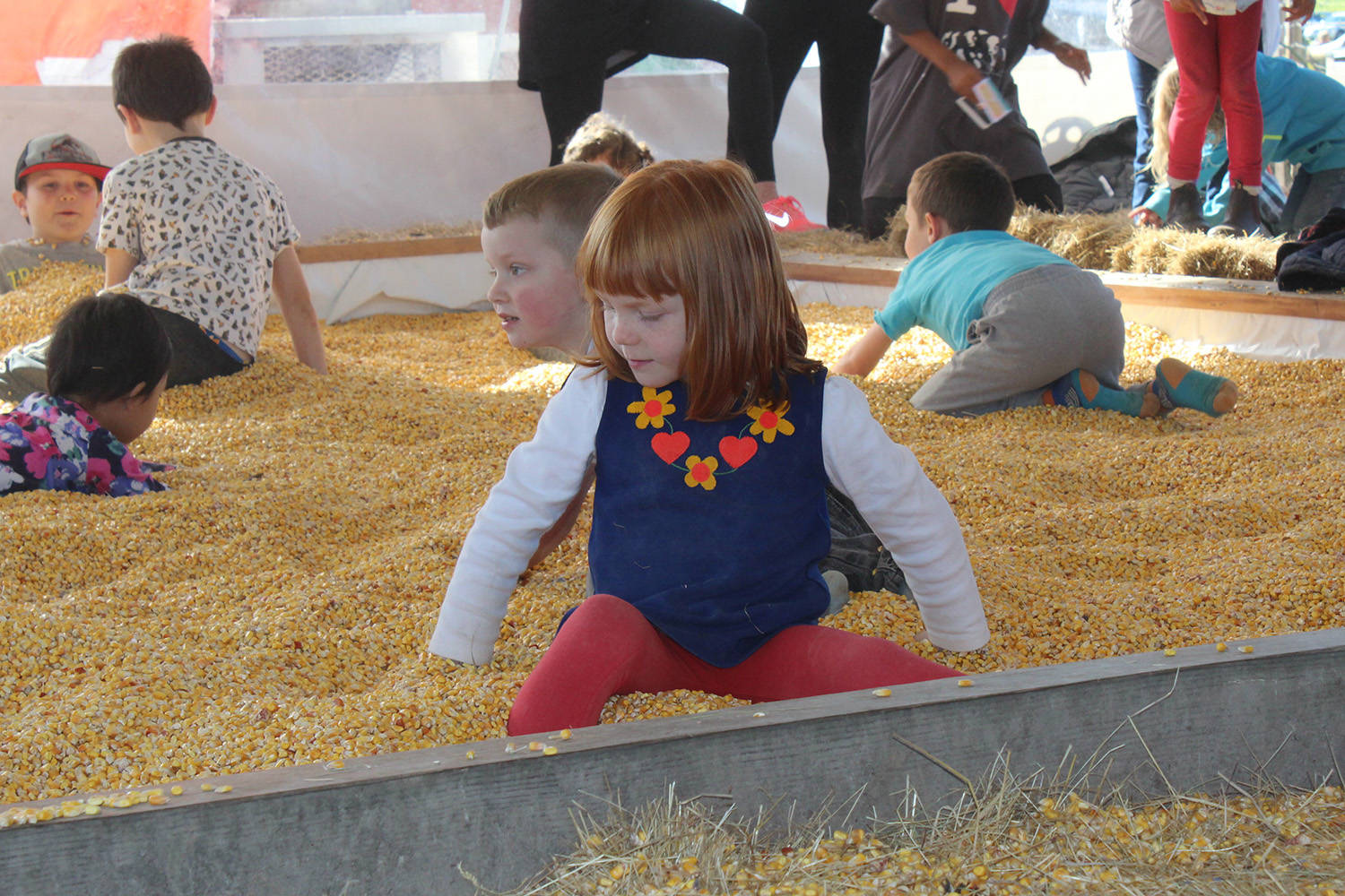 Popular corn maze at North Saanich's Pendray Farms out of operation