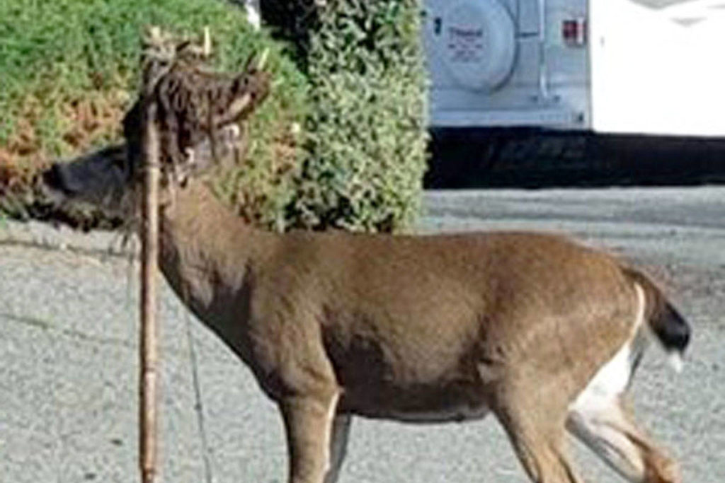 Deer with items tangled in antlers spotted in Saanich as rutting season begins - Saanich News