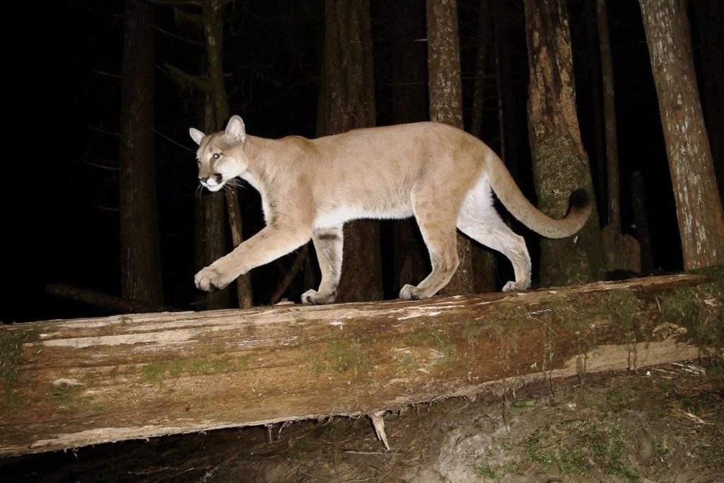 Declining Vancouver Island cougar populations linked to wolves - Saanich News
