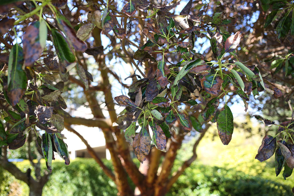 Vancouver Island arbutus trees fighting for survival against parasites - Saanich News