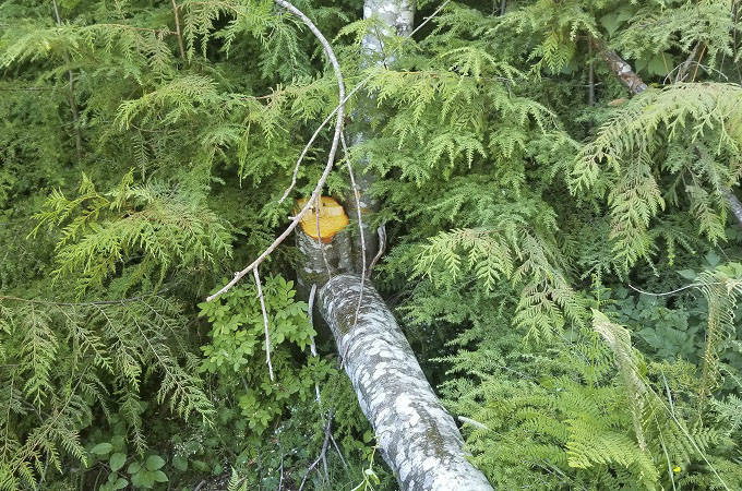 Protesters cut young trees at Fairy Creek logging blockades - Saanich News